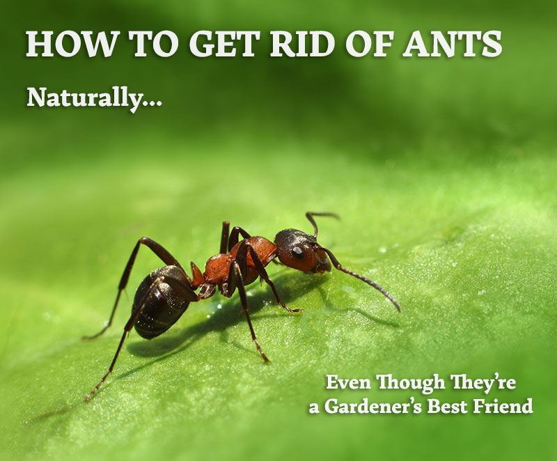 How Do You Get Rid Of Ants Naturally